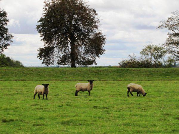 Stonea Camp Sheep